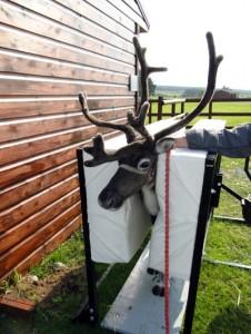 Image of working Reindeer immobiliser